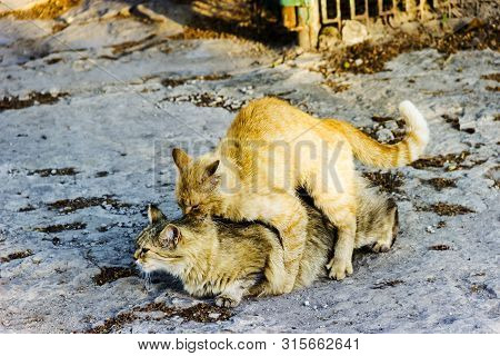 Stray Cat Copulation Beautiful Outdoor Sunny Day