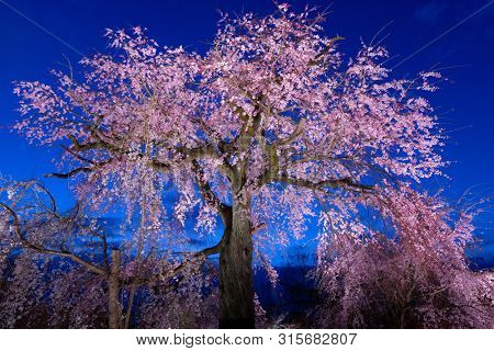 The old pinky cherry tree in full bloom at evening in the Maruyama park in Kyoto, Japan