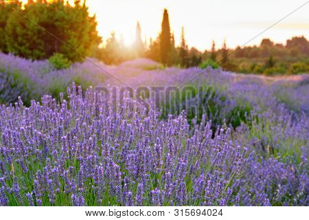 Blooming Lavender On The Island Of Hvar, Croatia