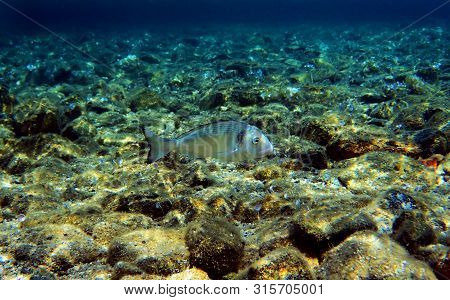 Gilt Head Bream Fish, Mediterranean Underwater Shoot