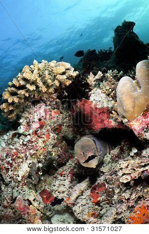 Giant Moray Eel, Maldives