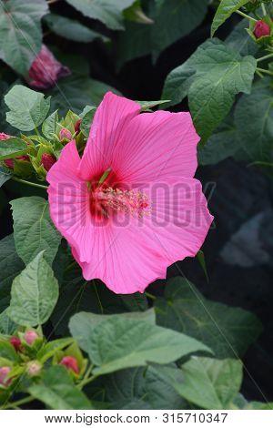 Hardy Hibiscus Luna Rose Flower - Latin Name - Hibiscus Moscheutos Luna Rose