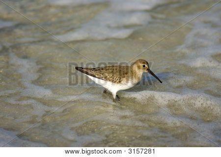 Dunlin Foraging In The Surf
