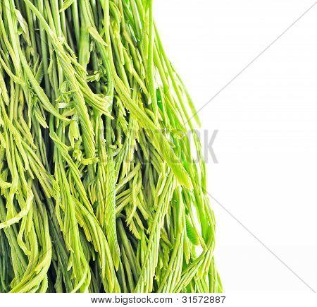 Young Acacia Leaf Closeup