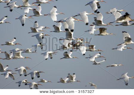 White Ibis In Flight Over A Pond