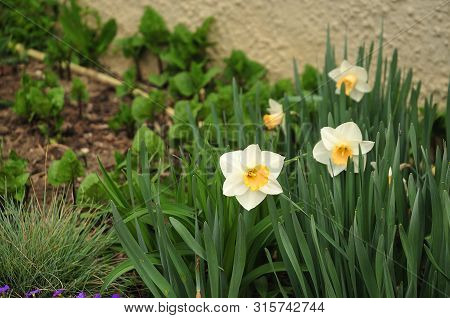 Daffodils With White Tepals And Yellow Corona Growing In A Frontyard