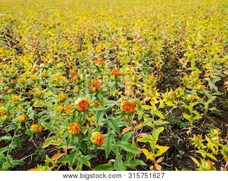 Safflower plant agricultural field in summer