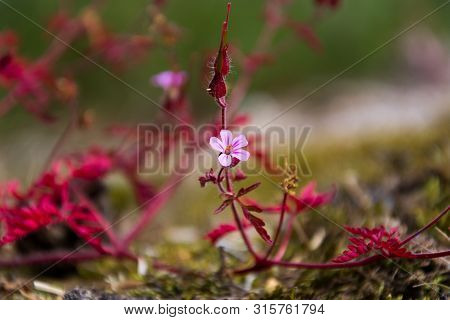 Herb Robert (geranium Robertianum). One Pink Flower With Red Leaves At The End Of The Flowering Seas