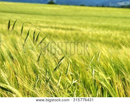 Weed, Stalk Of Oats In Rye Or Barley Field. Green Spikelets Of Oats In The Field, Raw Grains Of Seed