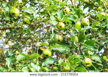 Many Ripe Green And Red Apples On Tree Branches In Orchard In Summer Evening