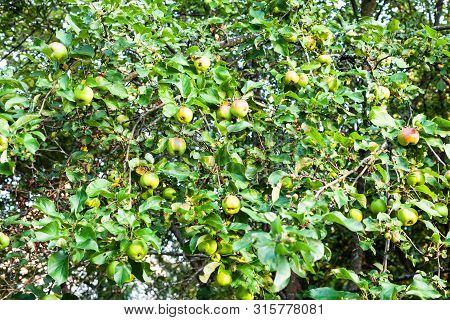 Rural Background - Branches Of Apple Trees With Ripe Green And Red Apples In Orchard In Summer