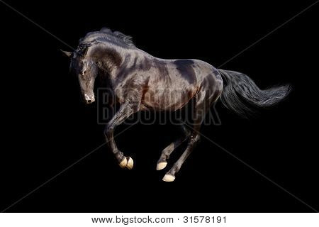 black stallion isolated over a black background poster