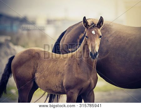 Red Foal Sporting Breed With A Mare. Small Horse. Foal With An Asterisk On A Forehead.