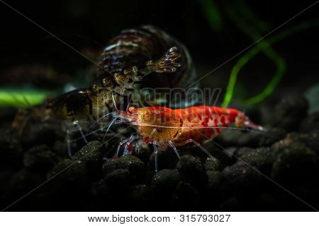 Red Tiger Shrimp Orange Eye Aquarium Freshwater Pets Hobby Nature Underwater Life
