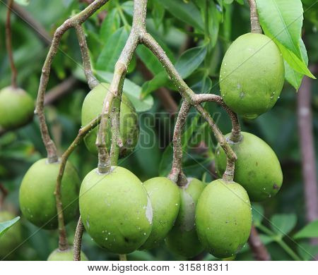 Green Hog Plum Fruit On Hog Plum Tree. Beautiful Green Hog Plum