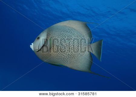 Atlantic Spadefish (Chaetodipterus faber) - Cozumel, Mexico poster