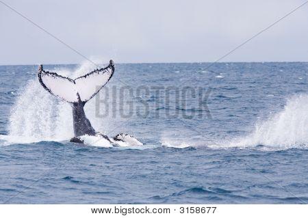 Baleia jubarte