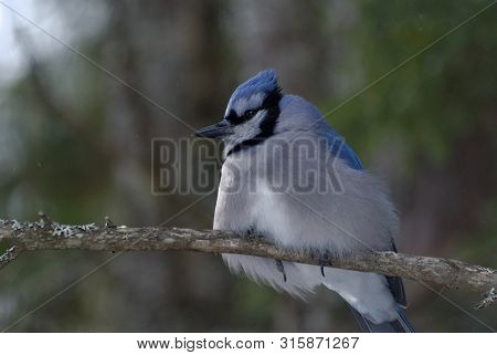 Blue Jay Perched On A Tree Branch