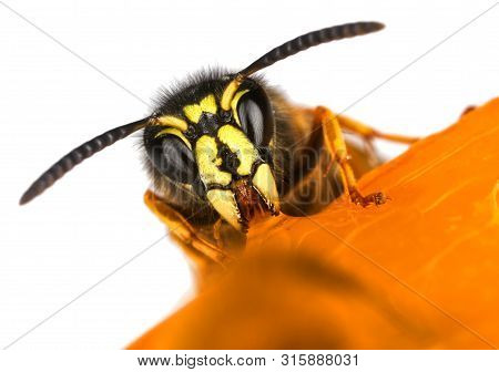 Wasp Feeding Sweet Frontal Face Macro Close-up