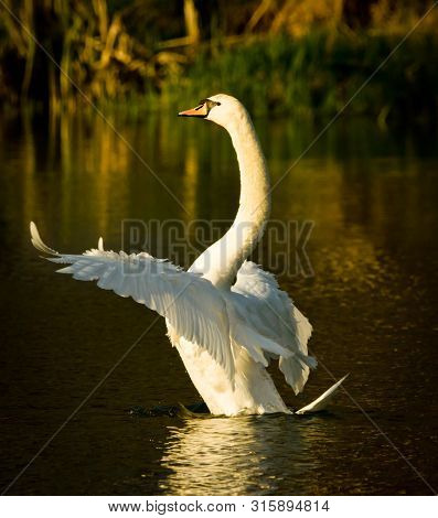 A Beautiful White Swan Flits And Swims In The Evening Sun