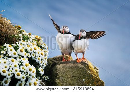 Puffins In Iceland. Seabirds On Sheer Cliffs. Birds On The Westfjord In Iceland. Composition With Wi