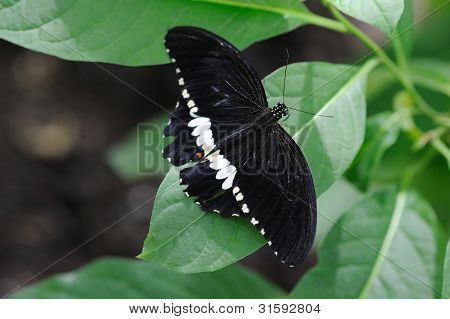 Common mormon on a leaf having a rest poster