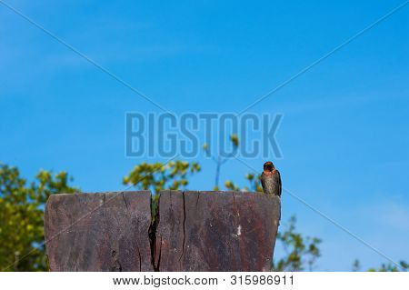 A Swallow Bird On Blue Sky Background.