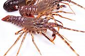 Alive Lobster placed on a white background poster