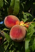ripe peaches on a tree. a bountiful harvest poster