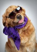 Funny Golden Retriever dog in a scarf and dark sunglasses. Funny portrait on grey background poster