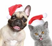 French bulldog and grey kitten in red christmas holliday cap on a white background poster