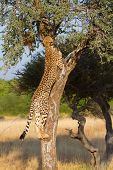 An adult female cheetah climbing a small tree poster