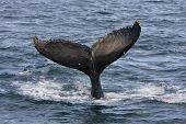 Humpback jubarte Whale of abrolhos islands in bahia state brazil poster