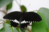 Common Mormon Butterfly on a leaf having a rest poster
