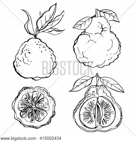 Citrus. Black Line Drawn On A White Background. Color Vector Drawing Of Fruits. Kaffir Lime, Pomelo,