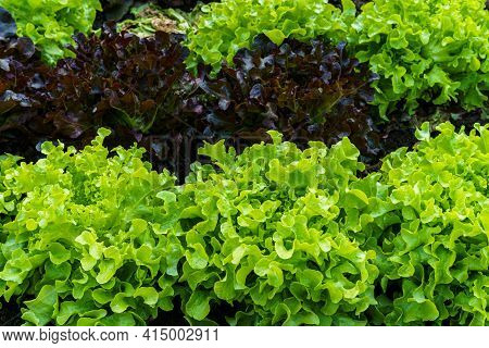Beautiful Organic Mini Cos,green And Red Oak Lettuce Or Salad Vegetable Garden On The Soil Growing,h