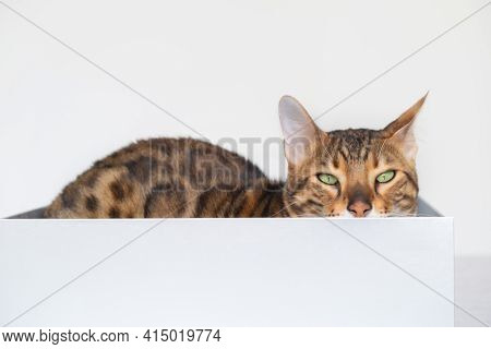 Funny Bengal Cat Hides In A Carton Box On Bed On Background Of White Wall, Looking At Camera. Animal