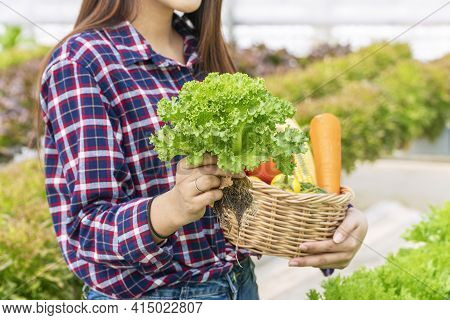 Hands Of Young Farmer Woman Holding Fresh Lettuce Organic Vegetable With Basket At Greenhouse Hydrop