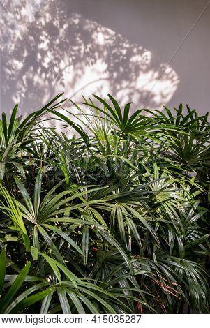 Howea Forsteriana Tree With Light And Shadows On A White Concrete Wall Texture For Background. Natur