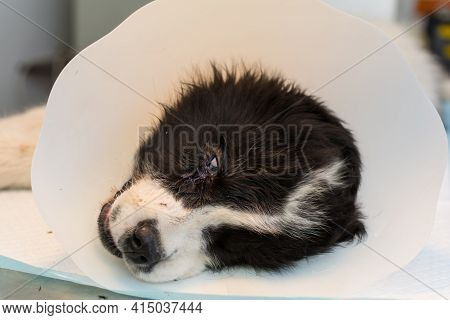 Sedated Puppy With A Bite Wound Near The Eye On The Table At The Veterinary Clinic, With Collar Afte