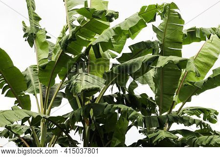 Big Green Banana Leaves Of Exotic Palm Tree On White Background, Group Of Banana Leaves.