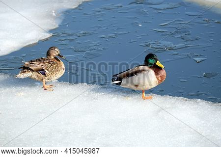 Pair Of River Waterfowl Ducks With Colorful Plumage Sitting On The Edge Of Ice Floe On Mating Season