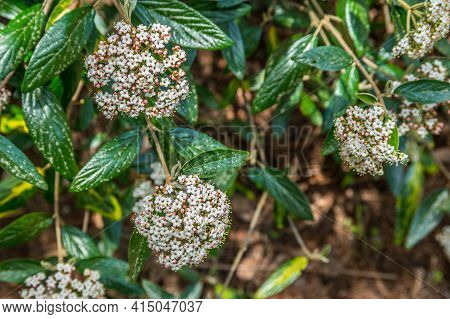 White Clusters With A Touch Of Pink Flowers In Bloom On A Verbena Bush Closeup View In Springtime