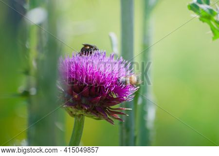 Insects Collecting Nectar And Pollen From A Blossoming Thistle Flower In Late Spring.