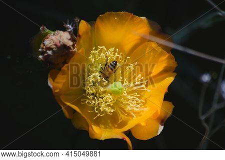 Honey Bee Collecting Nectar And Pollen From A Blossoming Cactus Flower In Late Spring. Macro Close U