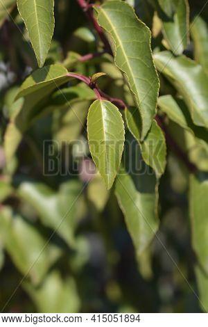 Portuguese Laurel Cherry Leaves - Latin Name - Prunus Lusitanica Angustifolia