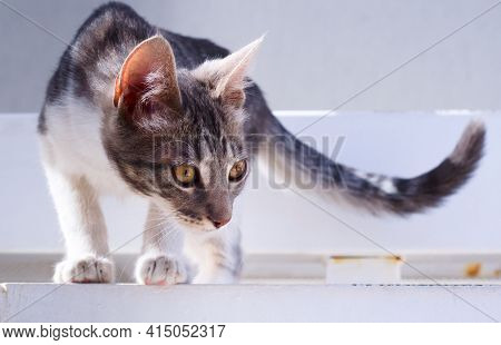 Young Gray Tabby Cat Staring Intensely. Close Up.