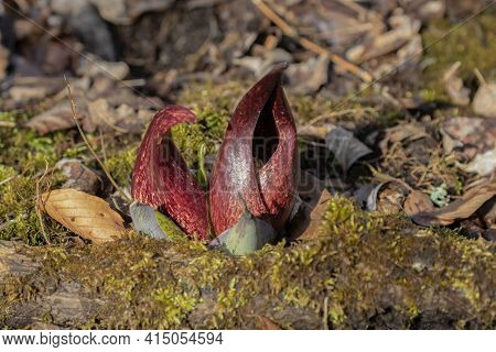 Skunk Cabbage (symplocarpus Foetidus)\nis One Of The First Native  Plants To Grow And Bloom In Early