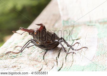 European Stag Beetle Lucanus Cervus Bug. The Biggest Insect In Europe. Endangered Species. Close Vie