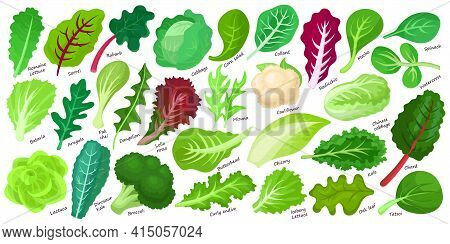 Lettuce And Salad Cartoon Vector Set Of Icon.cartoon Vector Set Illustration Leaf Of Lettuce. Isolat